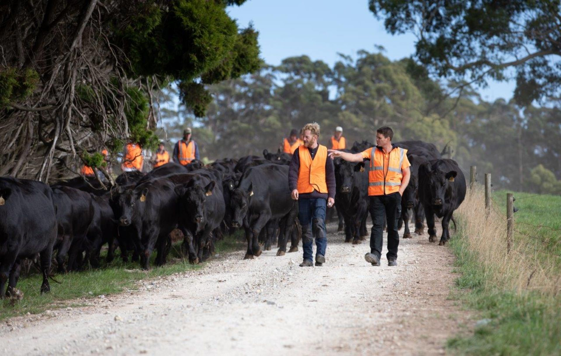 Students leading a herd of cows on Freer Farm