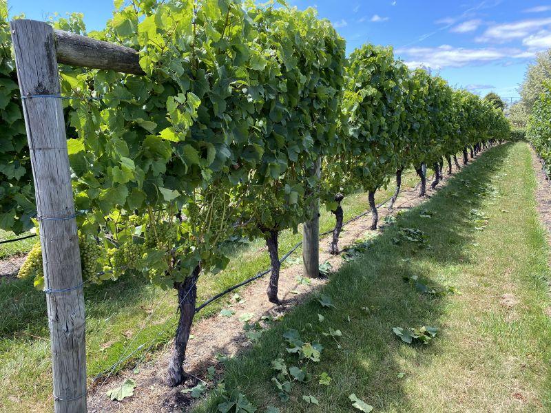 grape vine at winery